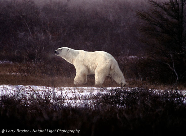 Polar Bears Walking in Brush
