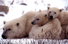 Mother Polar Bears with Two Cubs