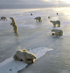 Nine Polar Bears